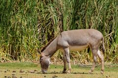 Grauer Esel essen Gras Stockbilder