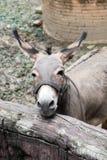 Grauer Esel im Stall Lizenzfreie Stockfotos