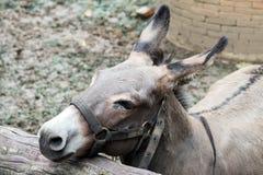 Grauer Esel im Stall Stockfotografie