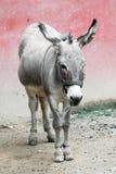 Grauer Esel im Stall Lizenzfreies Stockfoto