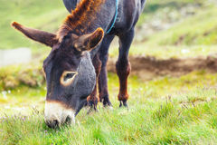 Grauer Esel, Porträt Stockfoto