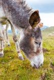Grauer Esel, Porträt Lizenzfreie Stockfotos