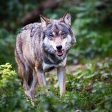 Grauer/eurasischer Wolf Lizenzfreie Stockbilder