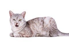 Grauer Europäer Katze der getigerten Katze lizenzfreies stockfoto