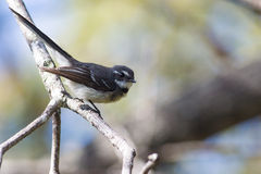 Grauer Fantail (Rhipidura-albiscapa) Lizenzfreies Stockbild