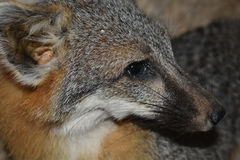 Grauer Fuchs stockbild