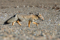 Grauer Fuchs auf dem Strand bei der Jagd Stockfotografie
