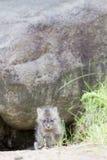 Grauer Fuchs des Babys Stockbild