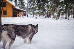 Grauer gefährlicher Wolf mit den großen weißen Zähnen Lizenzfreie Stockfotos