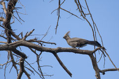 Grauer Gehen-weg-Vogel, Grey Lourie Lizenzfreies Stockbild