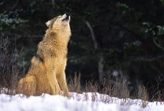 Grauer heulender Wolf Stockfotos
