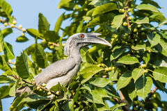 Grauer Hornbill Stockfoto