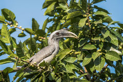 Grauer Hornbill Stockfotos