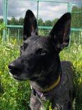 Grauer Hund - Abendweg in der Natur Lizenzfreies Stockfoto