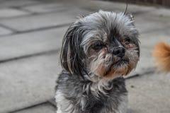 Grauer Hund, der auf seinen Eigentümer wartet Lizenzfreies Stockbild