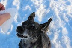 Grauer Hund des Schnees auf Natur Stockfotografie
