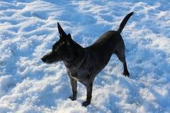 Grauer Hund des Schnees auf Natur Stockbild