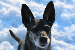 Grauer Hund des Schnees auf Natur Stockfoto