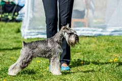 Grauer Hund Zwergschnauzer Zwergschnauzer steht im Grün lizenzfreies stockfoto