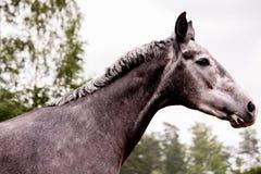 Grauer junger Pferdeportrait im Sommer Stockfotos