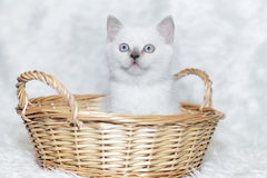 Grauer Kätzchenweißhintergrund Lizenzfreies Stockfoto
