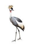 Grauer Kronenkran des Vogels Stockfoto