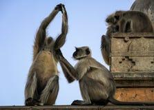 Grauer Langur oder Hanuman-Langur, der beim Affe-Tempel oder bei Galtaji, Jaipur, Rajasthan, Indien entlaust Lizenzfreies Stockbild