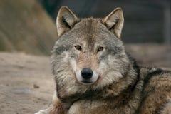 Grauer männlicher Wolf Stockfoto