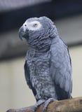 Grauer Papagei Stockfoto