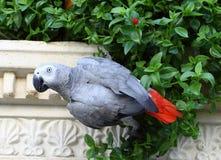 Grauer Papagei Stockfotografie