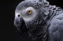 Grauer Papagei Lizenzfreie Stockbilder