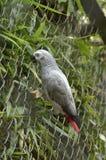 Grauer Papagei lizenzfreie stockfotografie