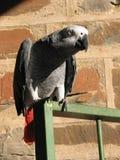 Grauer Papagei mit roten Schwanzfedern stockfotografie