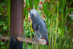 Grauer Papagei, wild lebende Tiere in Bali-Vögeln und Reptilien parken Stockbild