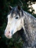 Grauer Pferden-Kopf-Schuß Lizenzfreies Stockbild