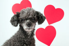 Grauer Pudelhund mit drei roten Valentinsgrußinneren Stockfotografie