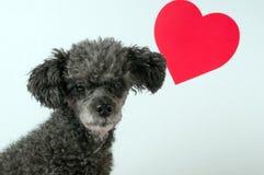 Grauer Pudelhund mit Valentinsgrußinnerem Stockfoto