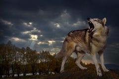 Grauer Raubwolfschutz sein Gebiet lizenzfreie stockfotografie