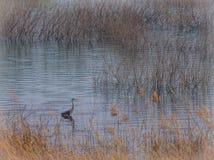 Grauer Reiher, der im seichten Wasser steht lizenzfreies stockfoto