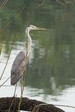 Grauer Reiher-Vogel Stockbild