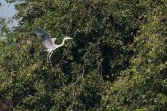 Grauer Reiher-Vogel im Flug Stockbild