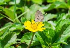 Grauer riechender Blütenstaub des kleinen Schmetterlinges Stockfoto