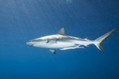 Grauer Riff-Haifisch Stockfoto