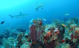 Grauer Rifhaifisch Stockbild
