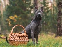 Grauer schöner einsamer thailändischer ridgeback Hund mit einem Pilzkorb im Wald Lizenzfreies Stockbild