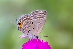 Grauer Schmetterling auf rosa Blume Lizenzfreie Stockfotografie
