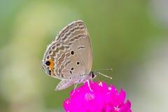 Grauer Schmetterling auf rosa Blume Lizenzfreies Stockfoto