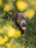 Grauer Sommer blüht thailändischer ridgeback Hund im Wald in der Schönheit Lizenzfreie Stockfotos
