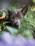 Grauer Sommer blüht thailändischer ridgeback Hund im Wald in der Schönheit Stockbild
