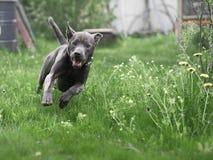 Grauer Sommer thailändischer ridgeback Hund im Wald Lizenzfreie Stockfotografie